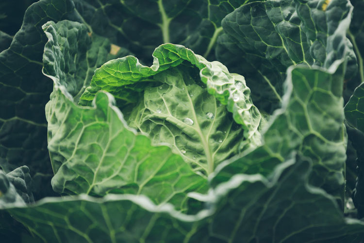 Leaf Plant Part Green Color Vegetable Healthy Eating Growth Freshness Plant Food And Drink Close-up Wellbeing No People Nature Food Leaf Vein Cabbage Day Water Agriculture Beauty In Nature Organic Outdoors Leaves Dew