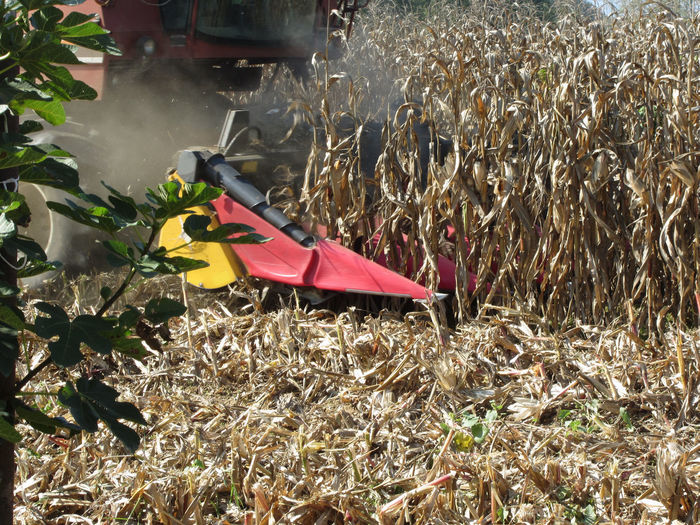 Combine harvesting corn crop in the cultivated field Agriculture Combine Harvester Cut Farm Field Growth Harvester Machine Rural Tractor Caryopsis Combine Corn Crop Dry Dust Equipment Farming Food Harvest Harvesting Reaping Ripe Rows Threshing Winnowing