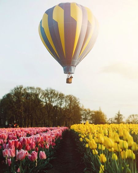 Hot Air Balloon Flying Over Tulip Field Against Sky