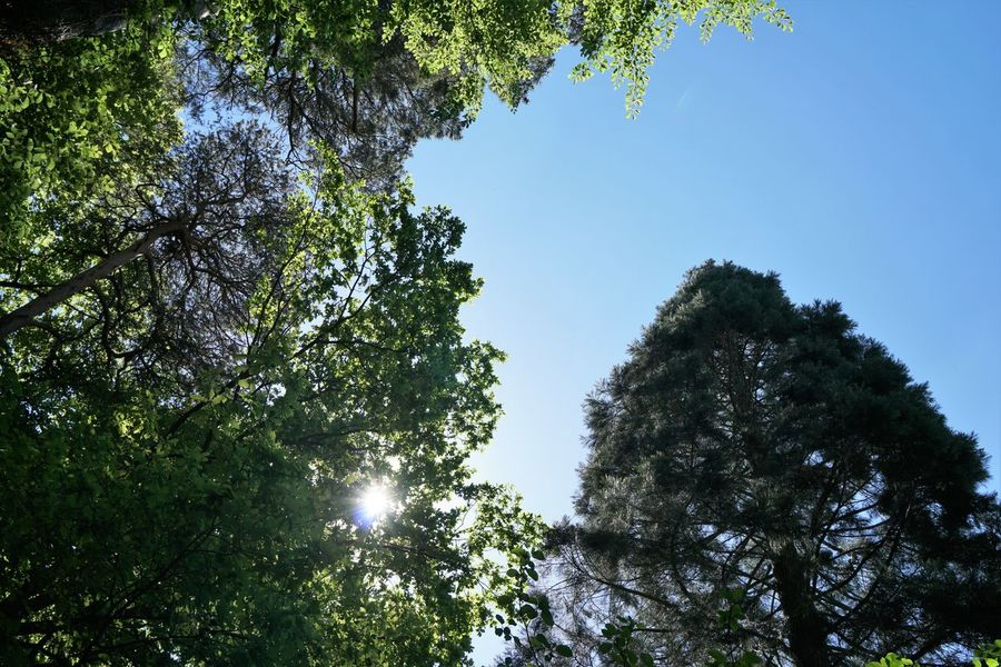 Beauty In Nature Clear Sky Day Directly Below Forest Growth Low Angle View Nature No People Outdoors Plant Sky Sunlight Tree Tree Canopy