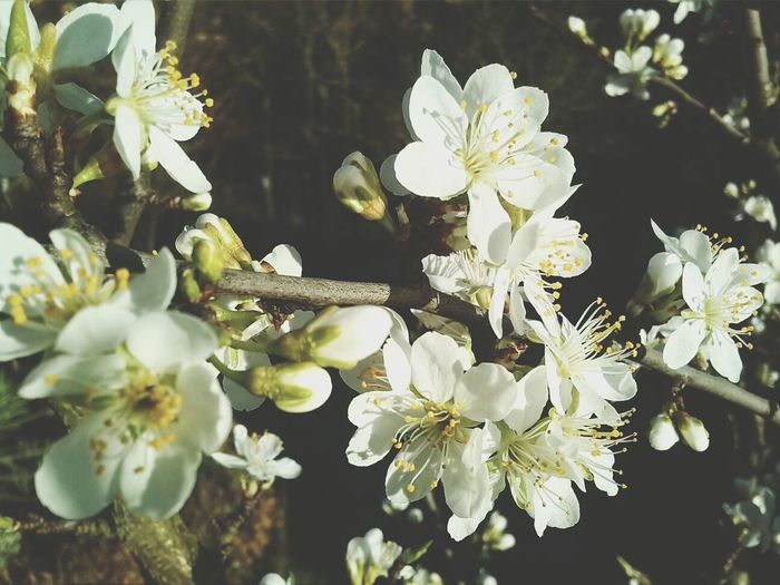 Plum Flower Tree Spring My Shot