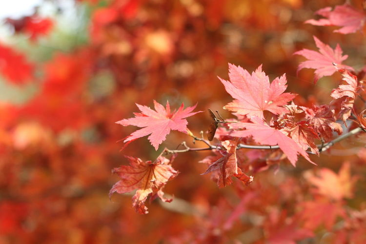Maple Leaf Leaf Autumn Red Change Maple Tree Book Cover Ice Hockey Pink Color Close-up Maple Chestnut Fallen Fall Woods Pine Cone Fallen Tree Fallen Leaf Falling Leaf Vein Autumn Collection Hockey Growing Pond Blooming Branch Leaves Twig Water Lily