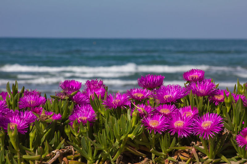 Hottentots fig flowers on the Pesaro sea Hottentot Fig Hottentot-fig Landscape_Collection Mediterranean  Nature Summertime Adriatic Sea Beauty In Nature Flower Flowering Plant Flowers Fragility Freshness Horizon Over Water Landscape Marche Pesaro Petal Pink Color Scenics - Nature Sea Season  Summer Water Waves