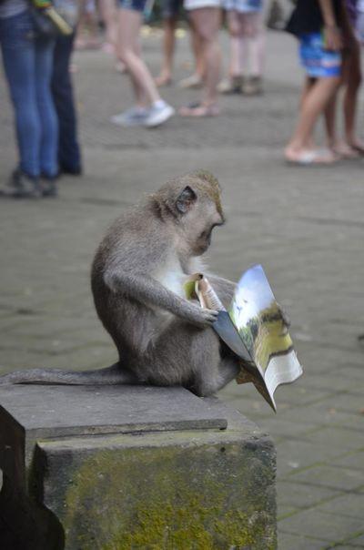Bali Day Focus On Foreground Leisure Activity Monkey Monkeyforrest  Outdoors Reading Selective Focus Ubud