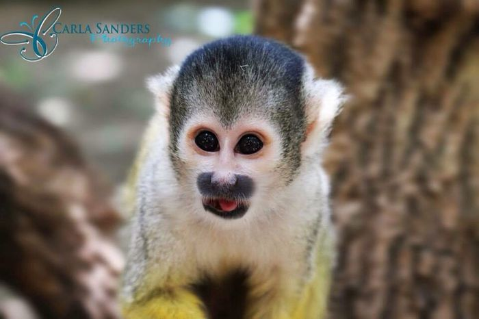 Monkey Cute Nature Big Eyes Little Macro Capetown Adorable Taking Photos Photography