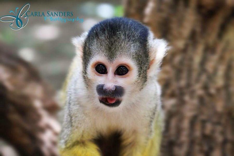 Monkey Cute Nature Big Eyes Little Macro Capetown Adorable Taking Photos Photography