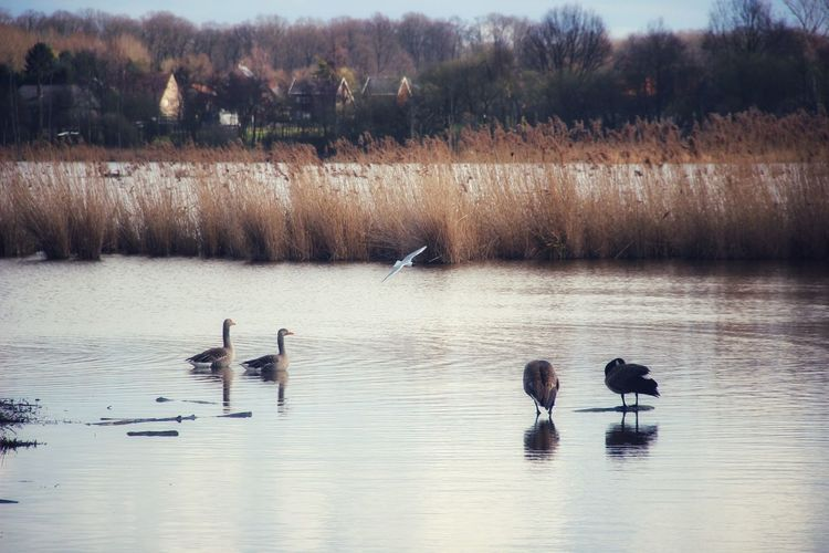 Water Water_collection Houses Focus On Foreground Animals In The Wild Nature Nature_collection Animal Themes EyeEm Nature Lover EyeEm Best Shots EyeEm Gallery EyeEm Selects EyeEm Masterclass Flying Bird Water Swimming Lake Reflection Water Bird Swan Spread Wings