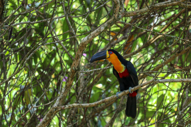 wild tucan Colorful Toucan Bird Perching Tree Branch Multi Colored Close-up Beak Animal Neck Avian Wild Animal Tropical Bird Rainforest