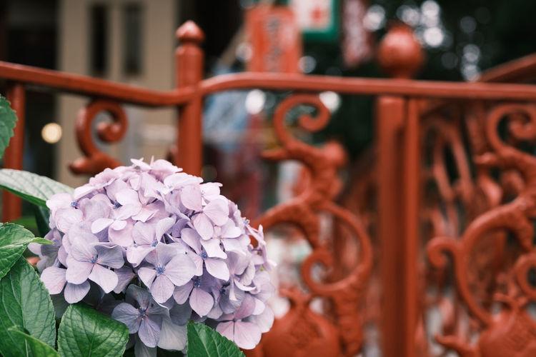 Close-up of hydrangea