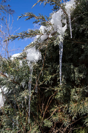 Low angle view of icicles on tree during winter