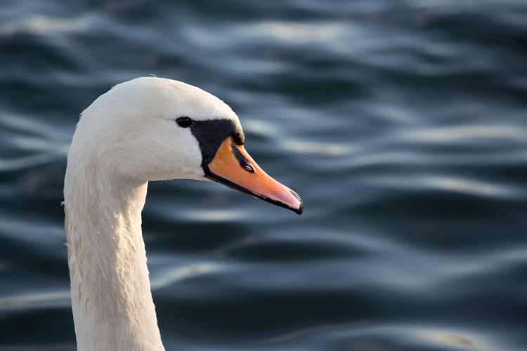 Close-up of white swan in lake