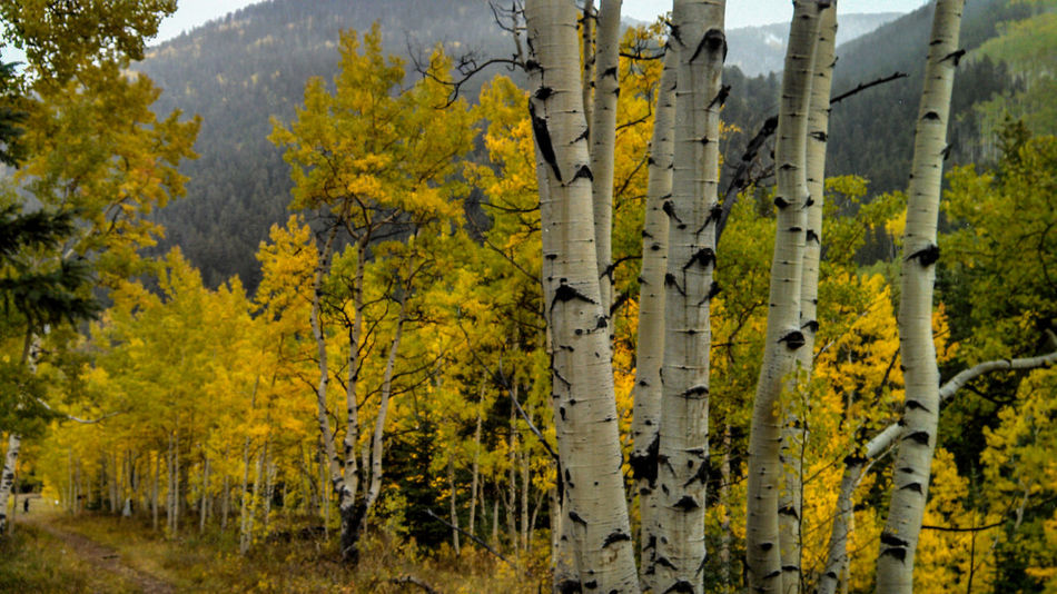 Aspen Trees Beauty In Nature Colorado Eye4photography  EyeEm EyeEm Best Shots EyeEm Best Shots - Nature EyeEm Gallery EyeEm Masterclass EyeEm Nature Lover EyeEmBestPics Eyeemphotography Fall Lobuephotos Mobilephotography Nature Scenics Smartphonephotography Travel Tree Tree_collection  TreePorn Yellow Yellow Leaves