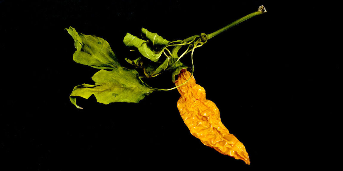 dry orange chili pepper Chili Pepper Orange Red Hot Chili Peppers Vegetables & Fruits Animal Themes Black Background Capsicum Pepper Chili  Close-up Dry Peppers Dry Vegetables Food Leaf Night No People Outdoors Paprika Studio Shot Vegetable Yellow