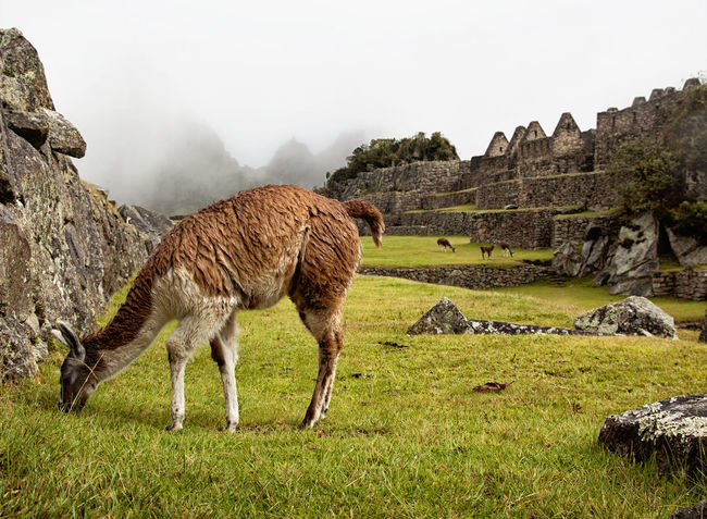 Alpaca Ancient Ruins Animal Themes Landscape Machu Picchu Outdoors Peru Travel