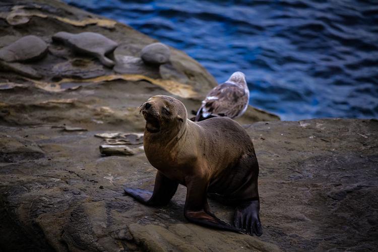 Sea lion  on rock at sea shore