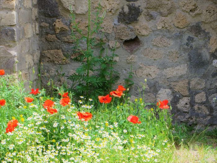 Architecture Beauty In Nature Blooming Close-up Day Flower Flower Head Freshness Grass Growth Nature No People Outdoors Plant Pompei Scavi Pompei. Archeologia Pompeii Details Pompeii Ruins Poppy Red