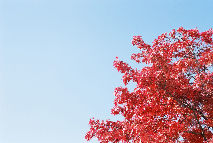 Analog Analogue Photography Autumn Autumn Colors Berlin Berlin Mitte Blue Blue Sky City Cityscapes Kodak Portra Nature Portra 160 Red Red Leaves Sky Skyporn Traveling Tree Trees Urban Urban Landscape Urbanexploration Urbanphotography