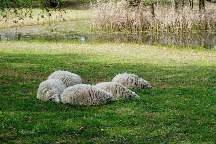 sleeping sheeps Grass Plant Mammal Relaxation Nature Domestic Animals Animal Themes Domestic Animal Land Pets No People Day Green Color One Animal Vertebrate Field Lying Down Outdoors Sleeping Sheeps