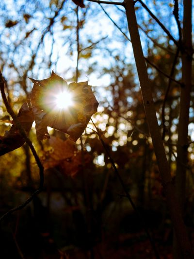 Sining through Lens Flare Sunbeam Nature Branch Outdoors Beauty In Nature Sun Sunlight Nature Autumn Autumn Leaves Plant Nature Photography Leaf Shining Through A Light In The Dark Beacon Of Hope Hopeful