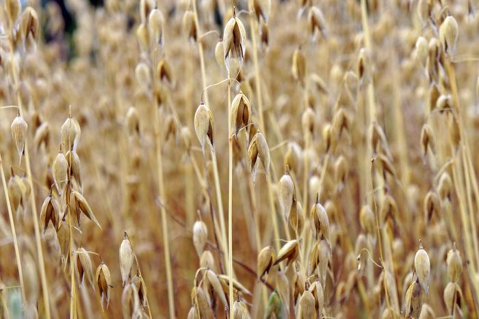 Agriculture Cereal Plant Corn Field Food Growth Hafer Haferfeld Haferflocken Landwirtschaft Nature Plant Vegan Vegan Food