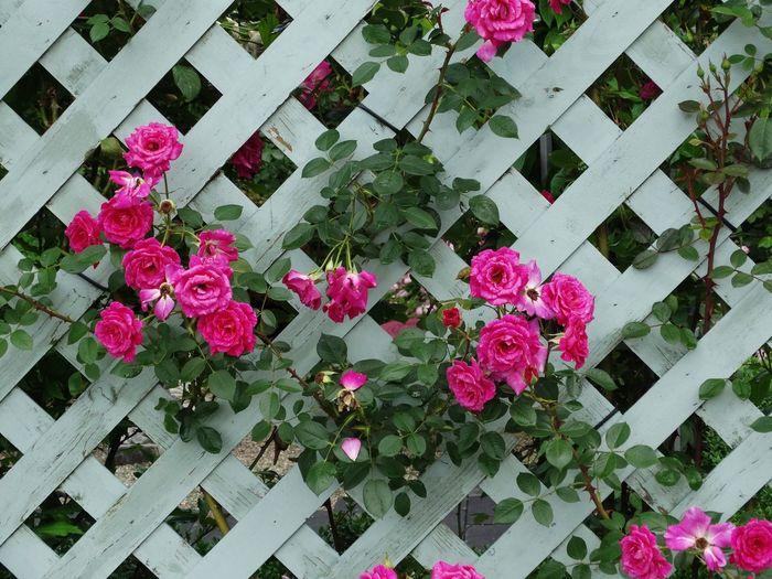 Flowering Backyard Roses In Bloom Garden Photography Rose Garden Nature_collection Landscape_collection EyeEmNatureLover Flowerfields Pink Rose Bloementuin InTheGarden