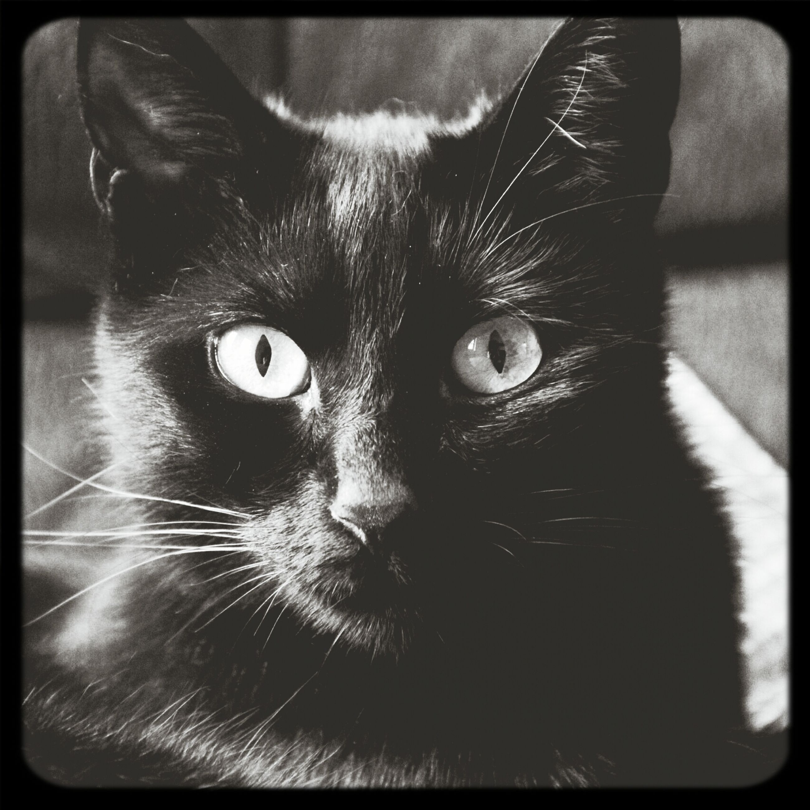 pets, one animal, animal themes, domestic cat, domestic animals, transfer print, cat, indoors, portrait, looking at camera, feline, mammal, whisker, close-up, auto post production filter, animal head, animal eye, staring, alertness, black color