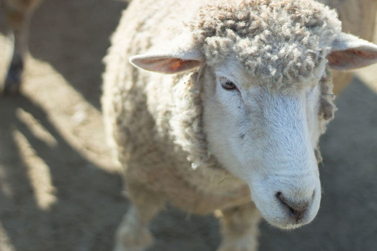 Close-up of a sheep Animal Themes Close-up Day Domestic Animals Livestock Mammal Nature No People One Animal Outdoors Portrait Sheep
