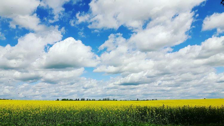 Rapseed field under white clouds 🌾🌾🌾 EyEmReady Cloud - Sky Rapsfeldshooting Raps Fields Horizon Over Land Beauty In Nature Sky Nature Landscape Flowers, Nature And Beauty Flowers Beauty In Nature Latvija Europe Trip Clouds Summer Views