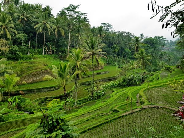 Tegallalang Rice Terrace Travel INDONESIA Bali Tegallalang Rice Terraces Green Nature Beauty Rice Terraces Ricefields EyeEmNewHere Nature Photograhy Nature Nature_collection Beautiful Nature Sights & Views  Postcard Picture Postcard Holiday Vacations Tree Rice Paddy Rural Scene Agriculture Terraced Field Field Sky Green Color Farmland Farm Plantation