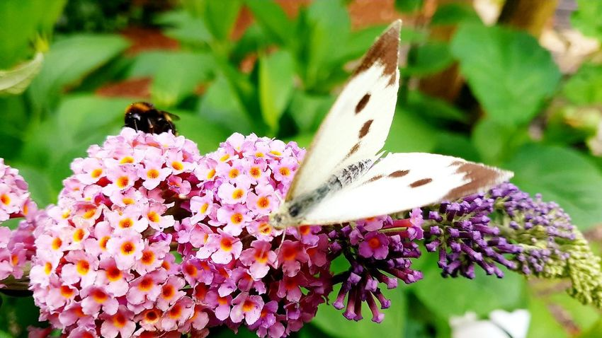 Butterfly white & brown Bee Summer Nektar Schmetterlinge - Butterflies Nahaufnahme Blüte Flowers Nature Colourful Yelllow Orange Pink Yellow In Sunlight Flower Head Flower Pollination Butterfly - Insect Bee Insect Petal Animal Themes