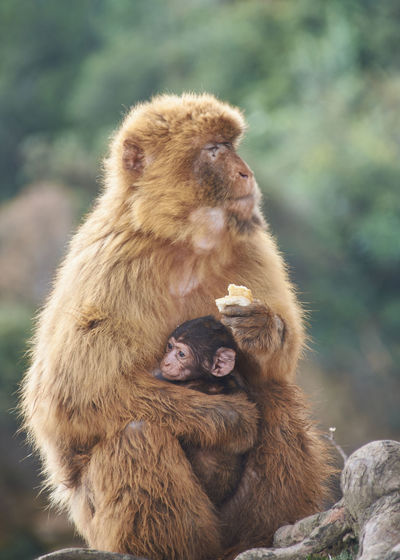 Monkey with his calf on his lap eating bread. colors of nature