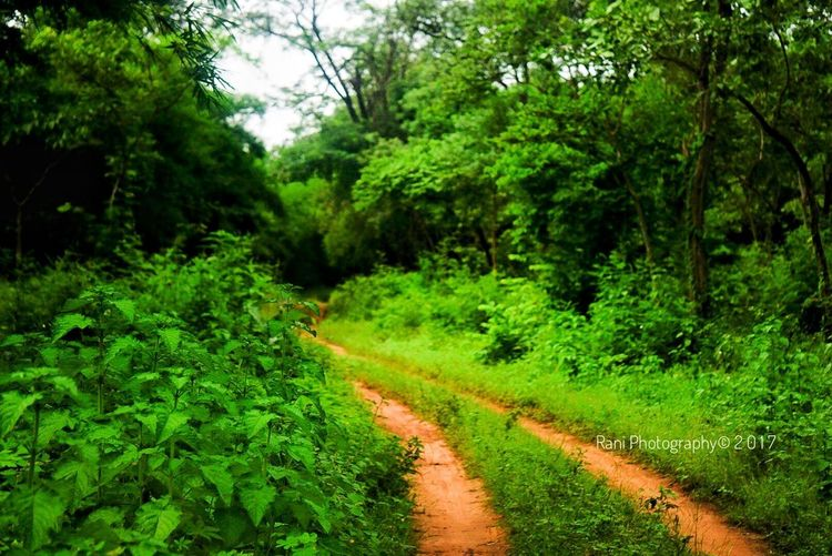 Tree Nature Green Color Growth Dirt Road Landscape Scenics Tranquility The Way Forward Plant Tranquil Scene Beauty In Nature Lush Foliage Outdoors No People Forest Road Day Rural Scene Curve Growth Beauty In Nature Sony A6000 Sonhalphacommunity EyeEmNewHere