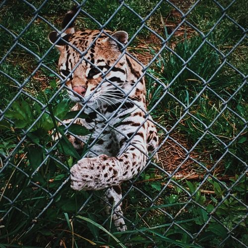 Ocelot playing with grass. Ocelot Tiger Rescue Cat Rescue