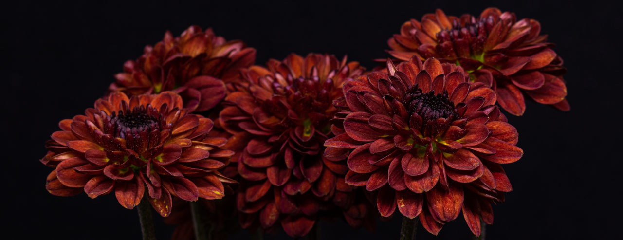 Close-up of red flowers against black background