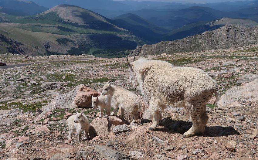 Landscape of mother and three baby mountain goats at 14,000 feet in colorado