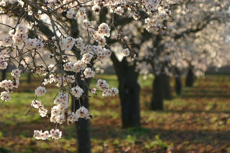 Almond blossom Mallorca Almond Blossom Mallorca❤️ Blossom Perspectives On Nature