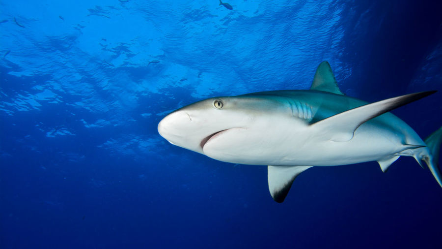 Caribbean reef shark in blue water
