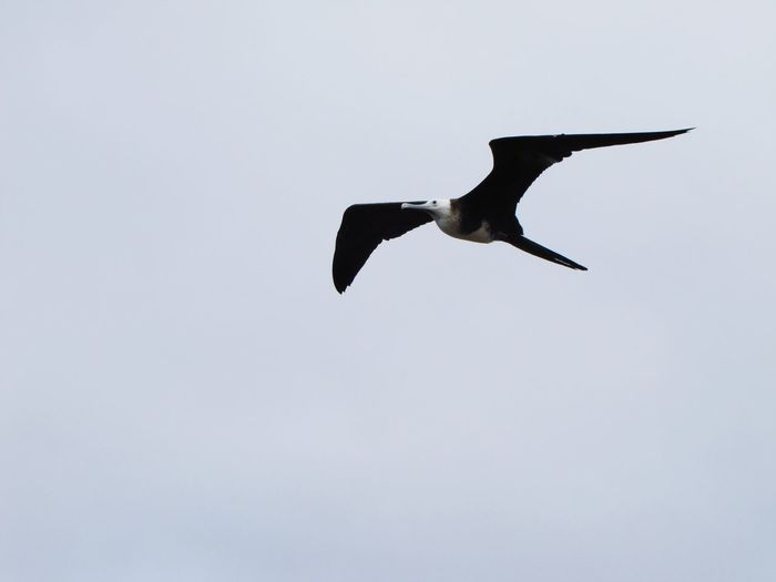 Fregata up high Galapagos Frigatebird Fregata Bird Flying Spread Wings Animals In The Wild One Animal No People Nature Sky Outdoors Beauty In Nature
