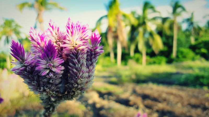 Colored life (samsung s6 shot) Flower Growth Freshness Fragility Beauty In Nature Focus On Foreground Close-up Nature Plant Springtime Pink Color Flower Head Petal Selective Focus Blossom Thistle Botany In Bloom Purple Day