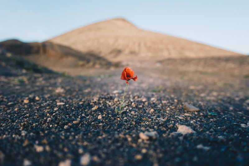 Lonely poppy. Canarias Islands Nature Poppy Lanzarote Land Selective Focus Landscape Beauty In Nature Nature Day Scenics - Nature Environment Tranquility Sky No People Outdoors Red Mountain Non-urban Scene Close-up Plant Tranquil Scene Clear Sky