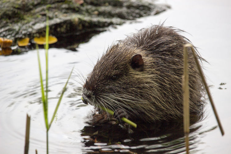 Animal Hair Animal Head  Animal Themes Close-up Day Focus On Foreground No People Nutria Nutria Rat Nutria, Mocastor Coypus, Coypu One Animal Snout Whisker Zoology