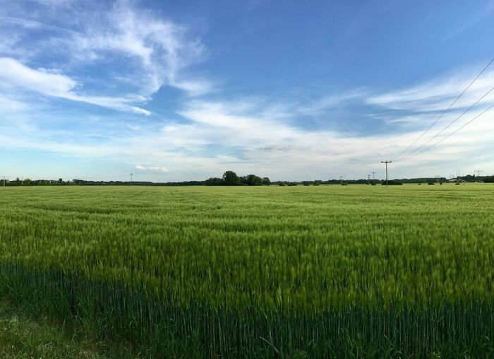 Blue Sky And Clouds Ear Of Corn Spring Electric Wires Landscape No People Outdoors Sky Wheat Wheat Field