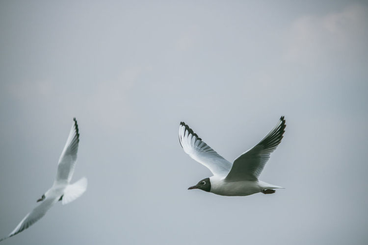 Animal Animal Themes Animal Wildlife Animals In The Wild Bird Black-headed Gull Clear Sky Day Flapping Flying Group Of Animals Marine Mid-air Motion Nature No People Seagull Sky Spread Wings Three Animals Vertebrate