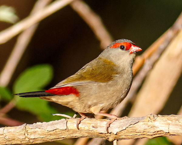Red Browed Finch Australian Birds In The Wild Australian Birds Animal Themes Animal Wildlife Animals In The Wild Bird Branch Close-up Day Focus On Foreground Nature No People One Animal Outdoors Perching Red Red Browed Finch