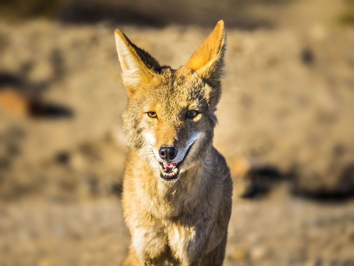 Portrait of coyote on field
