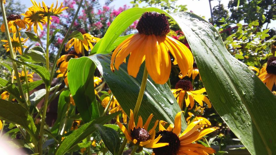 Flower Growth Freshness Nature Day Fragility Outdoors Yellow Plant Beauty In Nature One Person Flower Head Tree Adult Black-eyed Susan People Close-up Sky Plants And Garden Flower Photography Close Up Photography Garden Photography Nature No People Black Eyed Susans rudbeckia