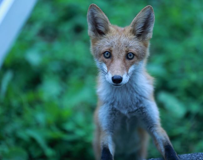EyeEm Selects One Animal Animals In The Wild Animal Wildlife Portrait Looking At Camera Animal Themes Fox Mammal Focus On Foreground Day Outdoors No People Nature Close-up