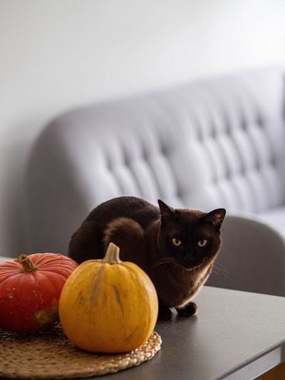 Portrait of cat sitting by pumpkin