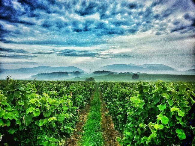 In Vino Veritas Vino Grapes Alcohol In The Air Vineyard Fog Cloudporn Colors Clouds Intense