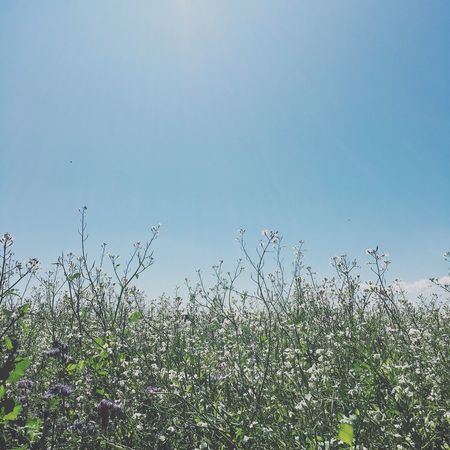 Flowering feelds Uncultivated Tranquility Sky Tranquil Scene Beauty In Nature Clear Sky No People Outdoors Day Plant Flower Growth Nature Horizon Lea Green Ecology Eco Organic Farming Organic Living